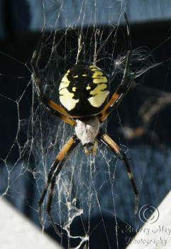 Black and Yellow Garden Spider by AudreyMayPhotography