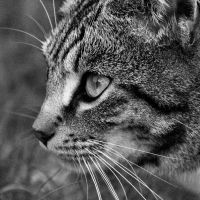 Whiskers by Aconitum-Napellus