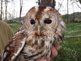 Adult Tawny owl I by Epic-stock
