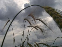 Tall Standing Wheat by Jacob-Photography