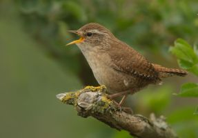 so you think you humans invented Tweets ?? Wren by Jamie-MacArthur