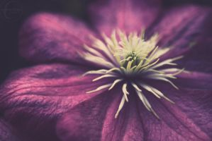 Anemone Flower by h20baby93