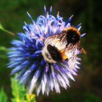 flower and bumblebee by Shayca