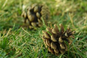 Pinecone by MBdrawings