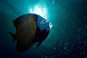 Comical French Angelfish by DevilDiver