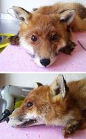 WORK IN PROGRESS Red Fox Head by DeerfishTaxidermy