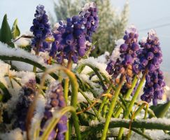 Grape Hyacinth in snow by justamom