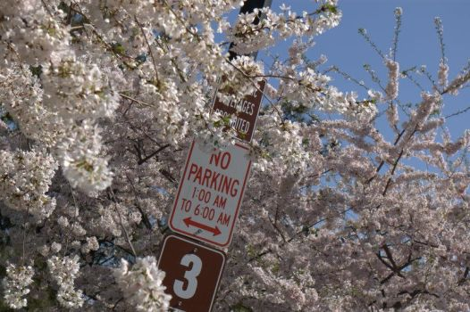 Cherry Blossoms 02: No Parking by EchoBinary