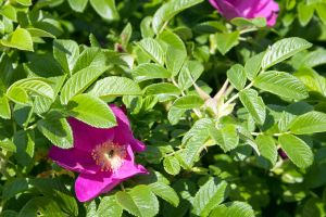 Flowering dog-rose stock #1 by croicroga
