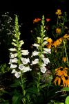 Digitalis - Foxglove by dkbarto