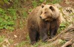 Brown Bear by cwaddell