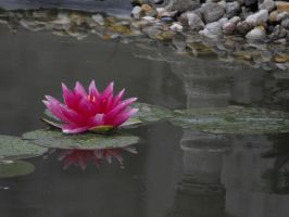 water lily in rain by freaky-x