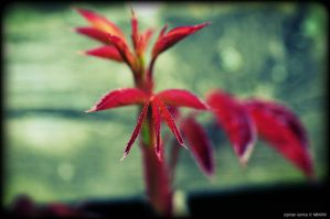Red by ciprinel