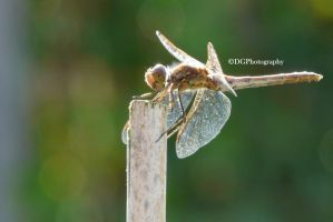 Sun drenched dragonfly by animelover145