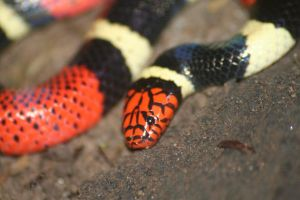 Aquatic coral snake by Serendith