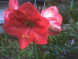 Red Amaryllis  2 by KnK-stock