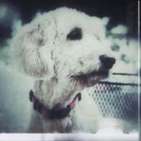 iPhoneography,  White Dog  Red Collar by Gerald-Bostock