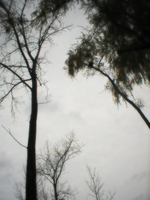 Tall Trees Own The Sky by FT69
