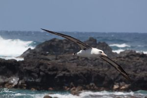 Dive bombed by the Albatross by tingharp