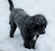 Snowy Little Newfoundland by isaribi4894