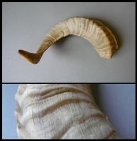 Goat Horn by CabinetCuriosities