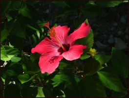 Hibisc...whatever by kessalia