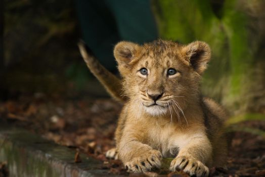 Asiatic Lion Cub! by XantheRowland