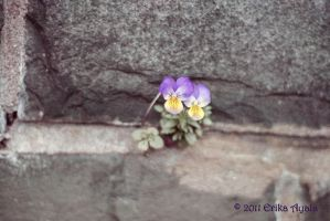 Pansies by Sombraluz-Images