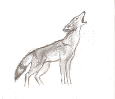 Coyote Study by Chardove