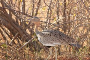 kenyan bird by Bruce-Pictures
