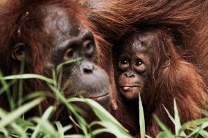 Mother and Baby Orangutan by bjorntoday