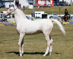 STOCK - Gold Coast show 176 by fillyrox