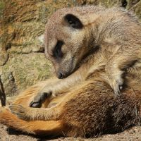 Being a Meerkat is Exhausting by rhiannonphillips