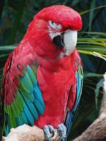 Green Winged Macaw by Video320