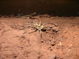 Carolina Wolf Spider by abuseofstock