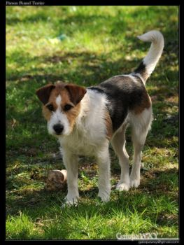 Parson Russel Terrier by GalopaWXY-photos