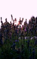among lavender sunset. by cscruff