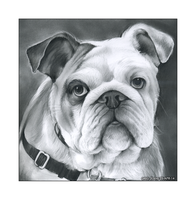 Bulldog by gregchapin