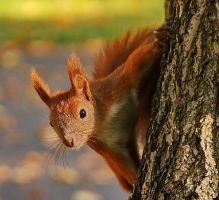 Squirrels VI by starykocur
