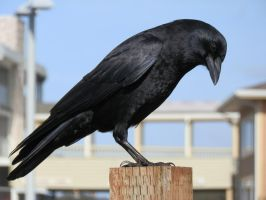 Crow 1 by jezebel77