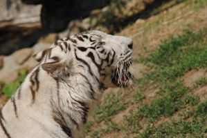 white tiger 2 by AngelicPicture