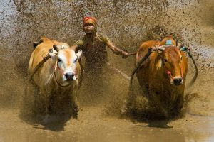 Splash of the Pacu Jawi by mfimages
