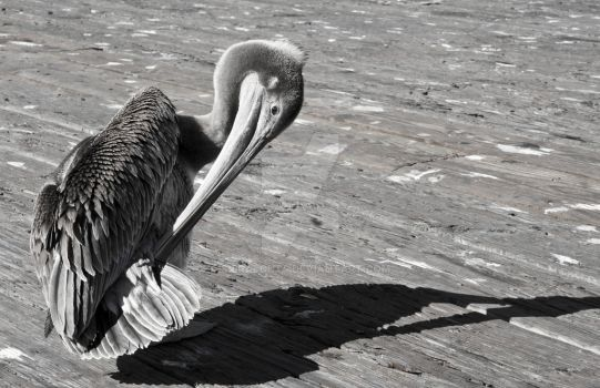 Pelican of Pismo Beach by spiralout4