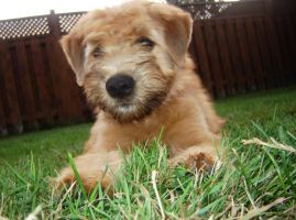 Soft coated wheaten terrier by bevio123321