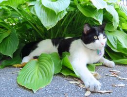 King of the Hosta Plants by Kitteh-Pawz