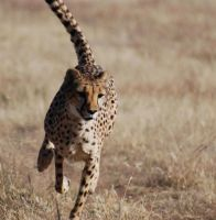7583 -cheetah- by amhillman
