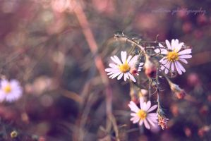 daisy. by almostkilledme
