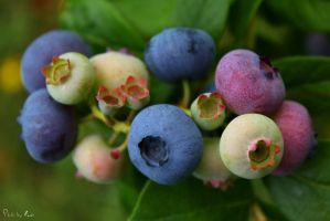 15 - Blueberries... by AnnaMagdalenaPe