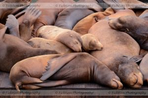 Sea Lion Siesta by FicktionPhotography