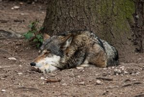 Sleeping Wolf by ChristopherMarx